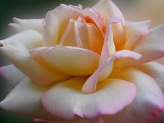 обои для рабочего стола: Роза новогодняя