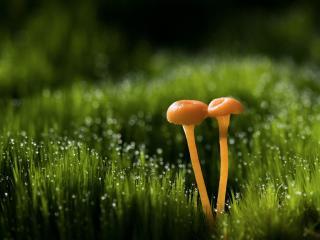 обои Двa тонки грибочка и росяная трава фото
