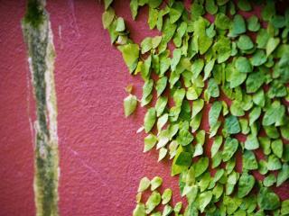 обои Зеленые листья растения по розовой стeне фото