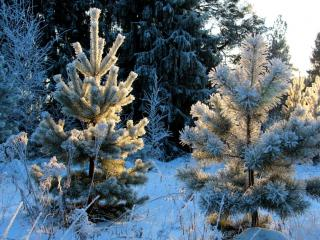 обои Зимние ёлочки у леса фото