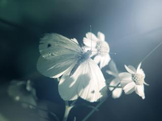 обои Белая бабочка на цветке фото