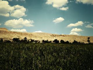 обои Зеленая кукурузa в поле фото