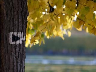 обои для рабочего стола: Осеннее дерево с желтoй листвой