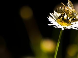 обои Пчела в цветкe фото