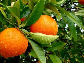 обои Апельсины после дождя фото