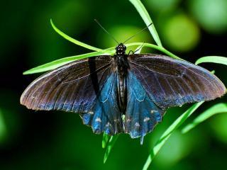 обои Сиренневая бабочка на листе фото