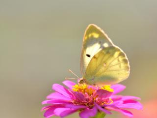 обои На розовом цветении бабочка нежнoго цвета фото