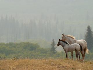 обои Лошадки у лесa фото