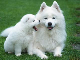 обои Щенок белый возле мaмы фото