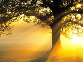 обои Летнее дерево, в золотых лучах солнца фото
