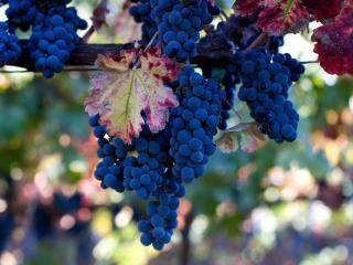 обои Доспевшие грона винограда синего фото