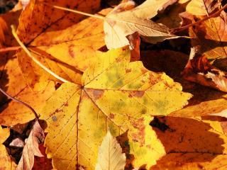 обои Желтые листья клена фото