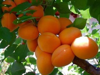 обои Ветка с абрикосами фото