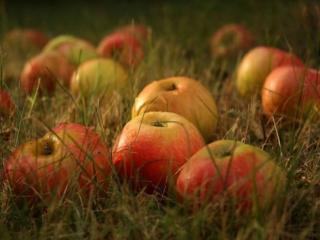 обои Спелые яблочки в росе фото