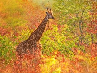 обои Осенний жираф фото