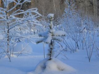 обои Маленькая ёлочка в заснеженном лесу фото