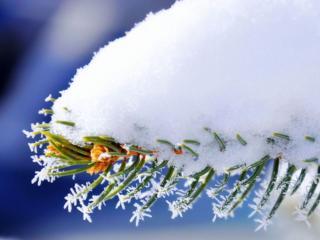 обои Снег на еловой ветке фото