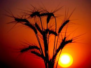 обои Пшеница на закате фото