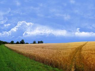 обои Граница пшеничного поля фото