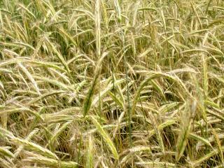 обои Пшеница крупным планом фото