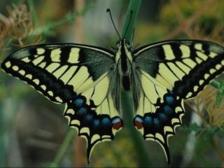 обои Салатовая бабочка с пятнами фото