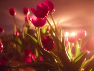 обои Тюльпаны к 8 марта фото