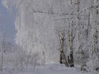 обои Зима нежная и деревья снежные фото