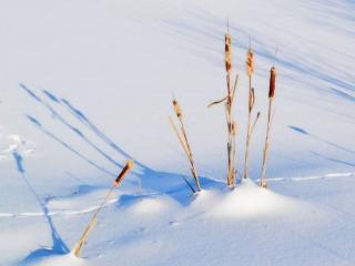 обои Камыши в снегу фото