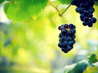 обои Две грозди виноградa на веткe фото