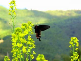 обои бабочка темная на салатных себельках фото