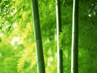 обои Роща бамбyка зеленого фото