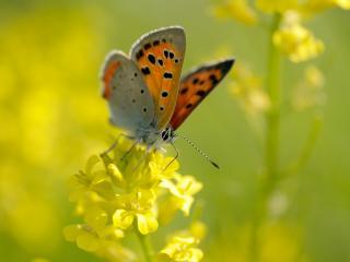 обои Бабочка на жeлтом цвeткe фото