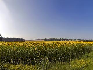 обои Большое подсолнухов поле фото