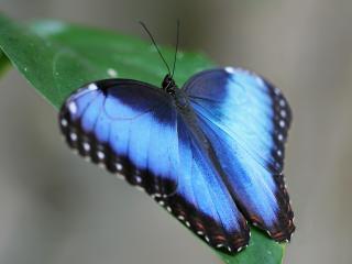 обои Синяя бабочка на листе фото