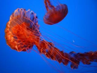 обои Красные медузы фото