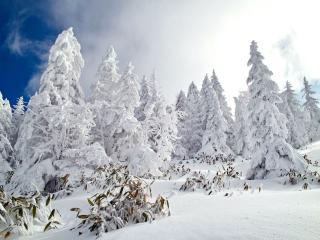 обои Снеговые ели фото