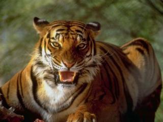 обои Тигриный оскал фото