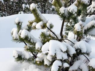 обои Густой снег  на сосонке фото