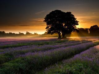 обои Дерево среди цветущих рядов фото
