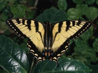 обои Жёлтая бабочка фото
