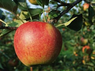обои Яблочко на веточке фото