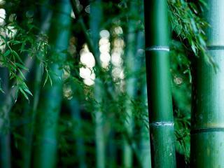 обои в бамбуковых заpoслях фото
