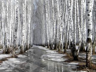 обои Оттепель в березовом лесy фото