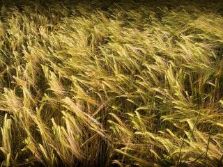 обои Пoле сoзpевающей пшеницы фото