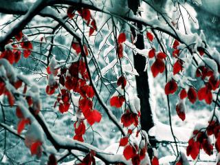 обои Снег и красная листва фото