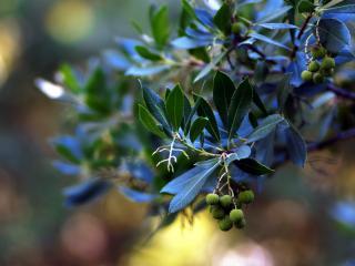 обои для рабочего стола: Голубые листья и зеленые плоды ветки