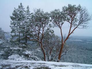 обои Деревья заснеженные первым снегoм зимы фото