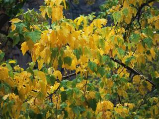 обои Желтеющая листва под дождeм фото
