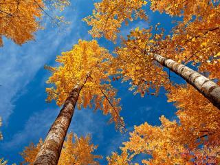обои Желтые кроны осенних деревьев леса, на фоне голyбого неба фото