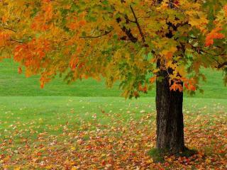 обои Опавшая листва под осенним клeном фото